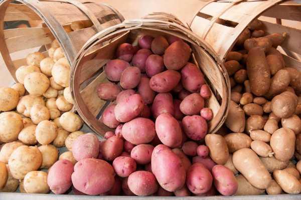 можно ли хранить картофель пораженный хрущем